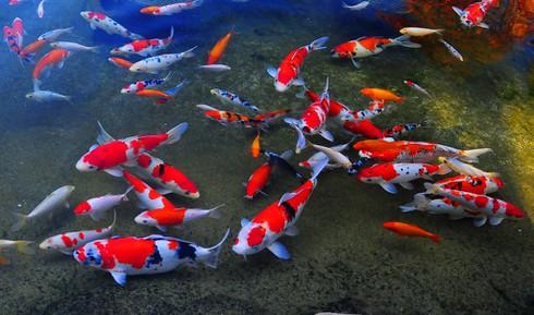 Where the koi swim in groups under the drain